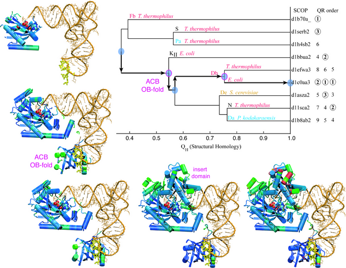 Evolution of Biomolecular Structure: Class-II Aminoacyl-tRNA Synthetases